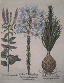 Basil Besler 89.  Madonna (Annunciation) lily & bulb; Large-leaved Speedwell