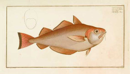 Marcus Elieser Bloch The Whiting Pout