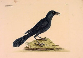 Mark Catesby (T12) Purple Jackdaw (Common Grackle)