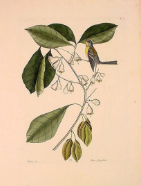 Mark Catesby (T64) Finch Creeper (Northern Parula)