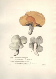 mushrooms_feuille_morte