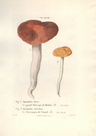 mushrooms_grand_clou_raye_de_meudon