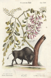 Johan Michael Seligman after Mark Catesby The American Bison Repaired tear just into image at bottom.